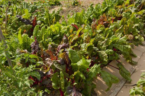 Lettuce Plants at Briggs Chaney Community Garden
