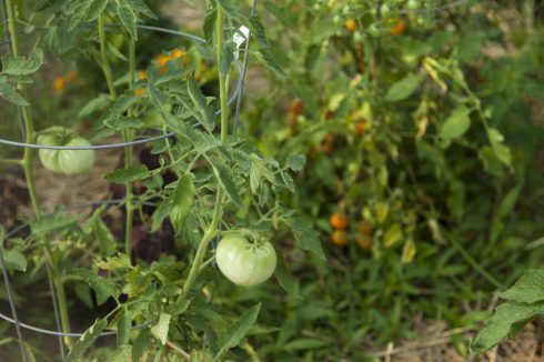 Tomato at King Street Community Garden