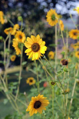 Multiple Sunflowers at King Street Community Garden