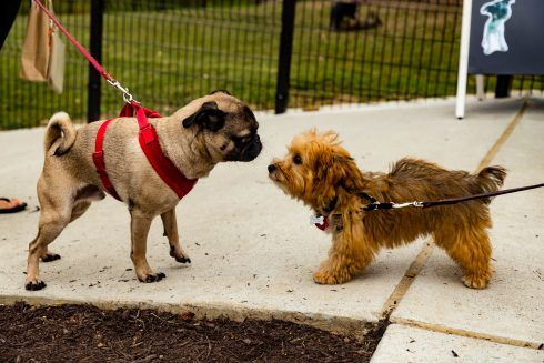 Two small dogs look at each other in Ellsworth Urban Dog Park
