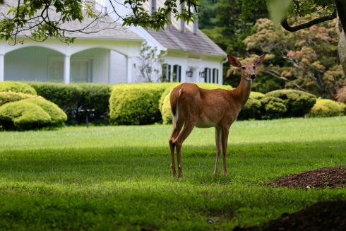 A doe deer standing in a yard with a house behind it