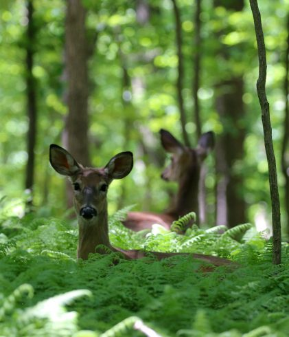 Two deer laying in ferns at Wheaton Regional Park
