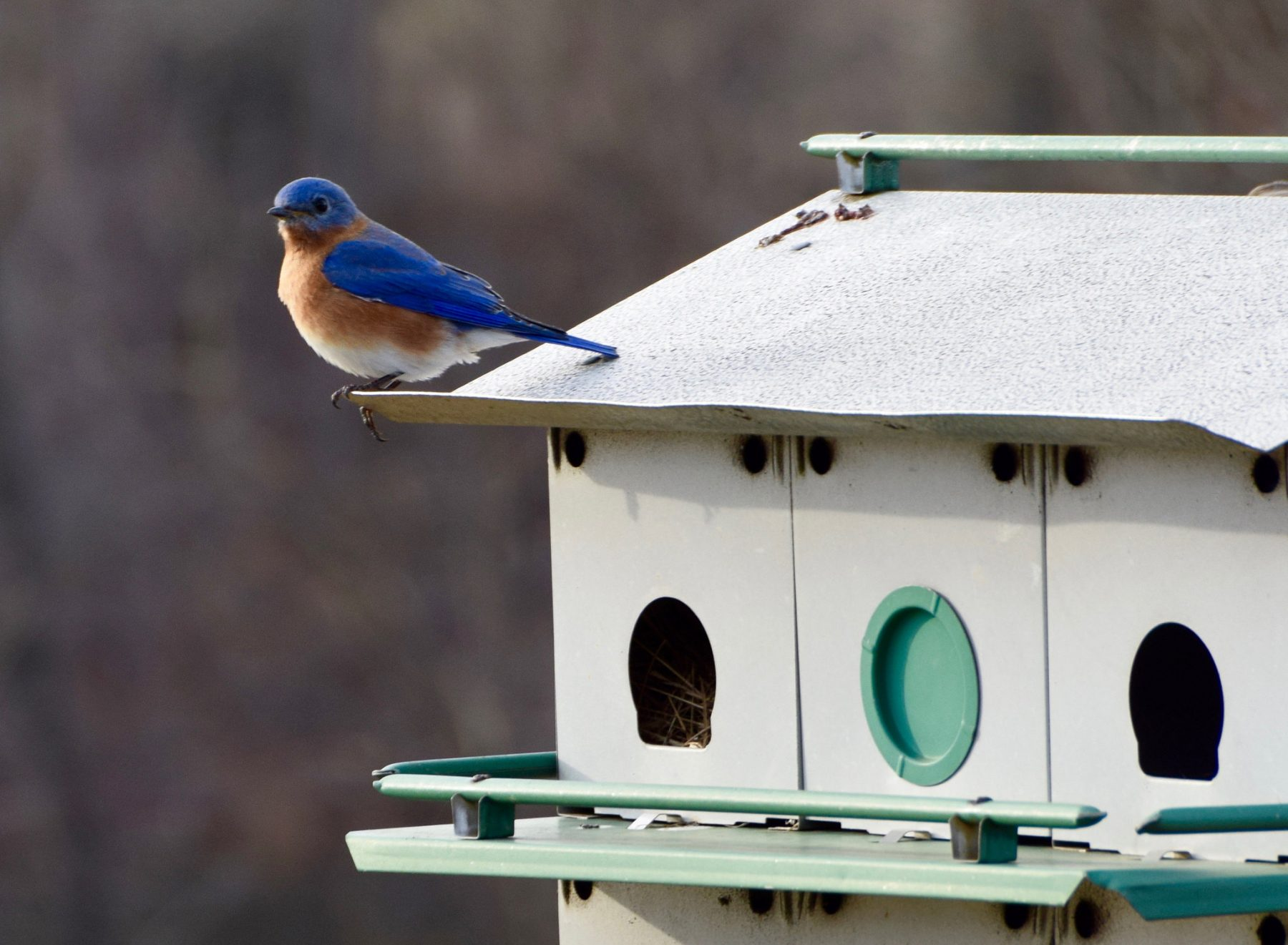 Eastern Bluebird at Black Hill Visitor Center