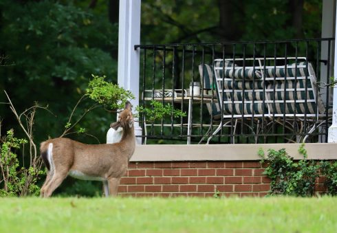 A small spike buck eating a plant by a house