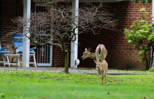 Two deer standing in front of a home by a tree