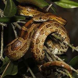 A snake coiled around branches