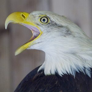 The side view of an eagle's face