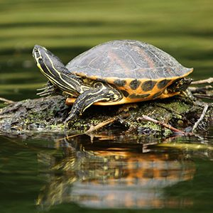A turtle sits on a rock in the water