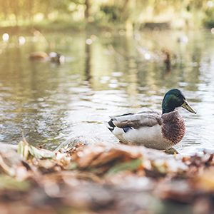 A duck on a pond