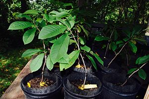Image of potted pawpaw trees