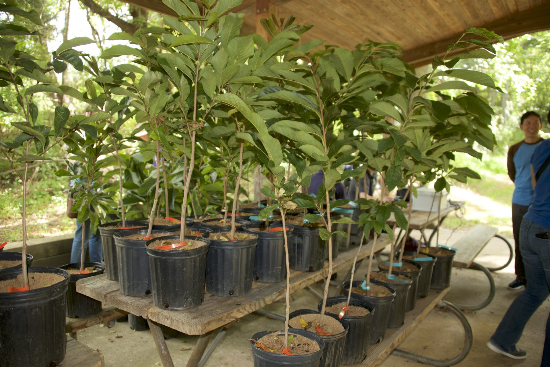 Rows of Pawpaw trees in pots, for sale at the festival