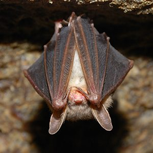 Photo of a bat hanging upside down