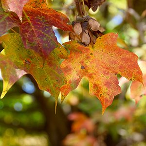 Maple Leaves on tree limb, beginning to turn red and brown, fall colors