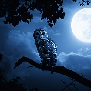 Owl on tree limb with dark blue night sky and full moon