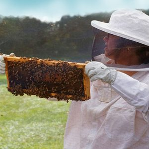 Beekeeper in white protective clothing, holding a tray with a bee colony