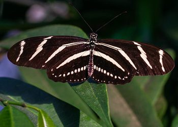 Black and white zebra striped butterfly on branch