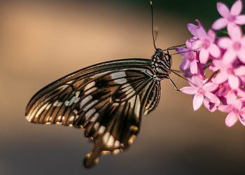 Black and white butterfly that has landed on a pink flower