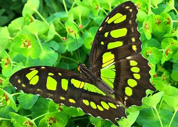 Yellow, green and black butterfly on a bush