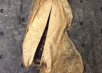 Moth cocoon opening