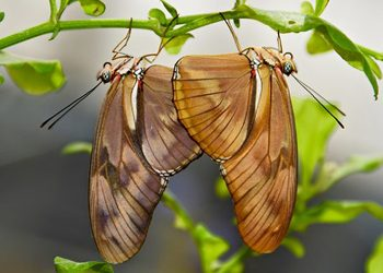 Two light orange butterflies hanging upside down