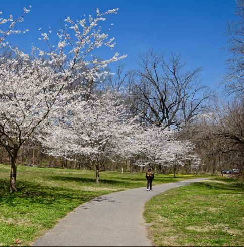 Cherry blossoms over a trail