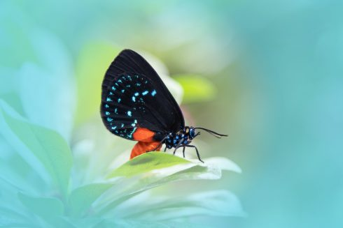 Moths and butterflies, Butterfly, Insect, Lycaenid, Invertebrate, Atala, Macro photography, Blue, Pollinator, Organism