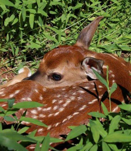 Deer, Terrestrial animal, Wildlife, Fawn