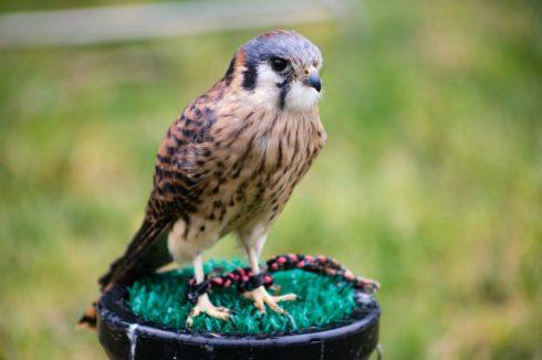 Bird, Vertebrate, Falcon, Peregrine falcon, Bird of prey, Beak, Hawk, Wildlife