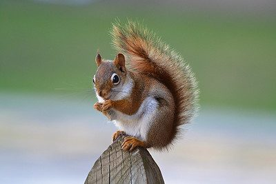 Squirrel, Vertebrate, Eurasian Red Squirrel, Grey squirrel