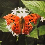 Comma Butterfly photograph by Renee Ruggles $110