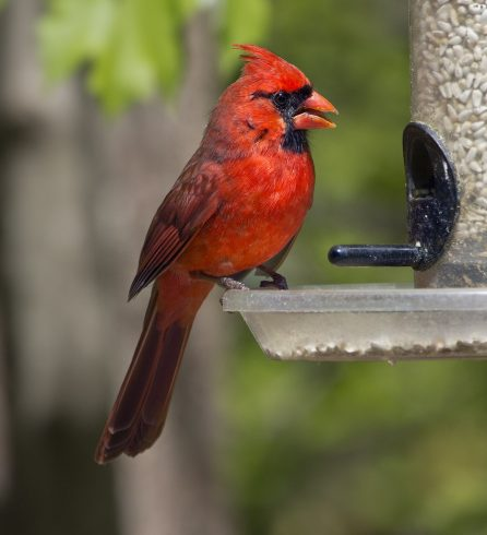 Bird, Vertebrate, Northern Cardinal, Cardinal, Beak