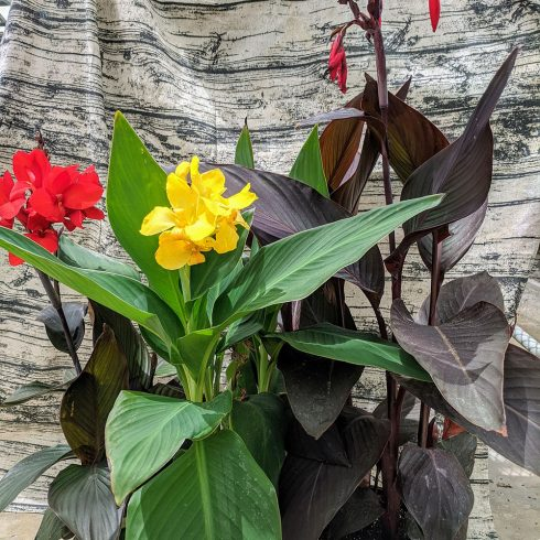 Red Canna Flower in Pot