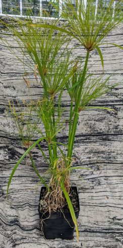 Paper Reed, Cyperus papyrus plant