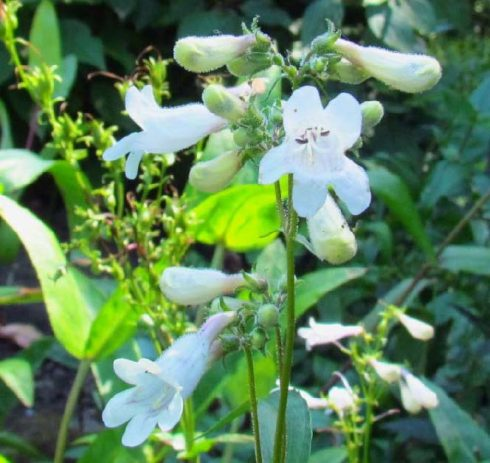 Penstemon digitalis plants