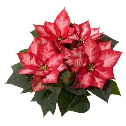 Poinsettia, Red, Pink, Flower, Brookside Gardens Plant Sale,