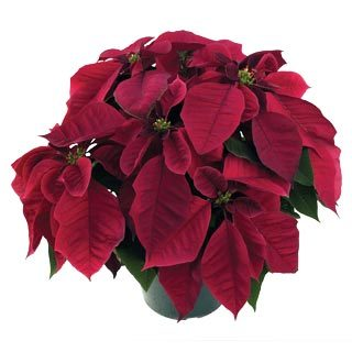 Poinsettia, Burgundy, Brookside Gardens Plant Sale