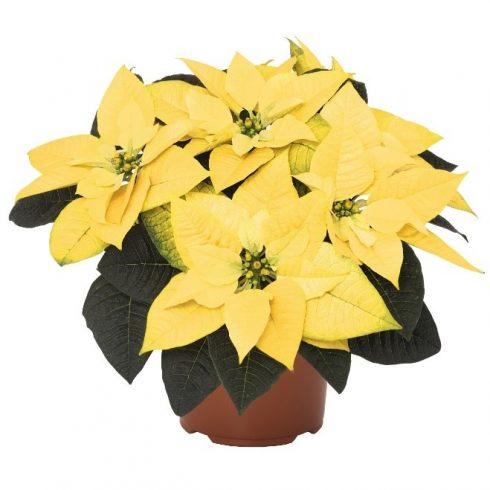 Poinsettia, Yellow, Brookside Gardens Plant Sale,