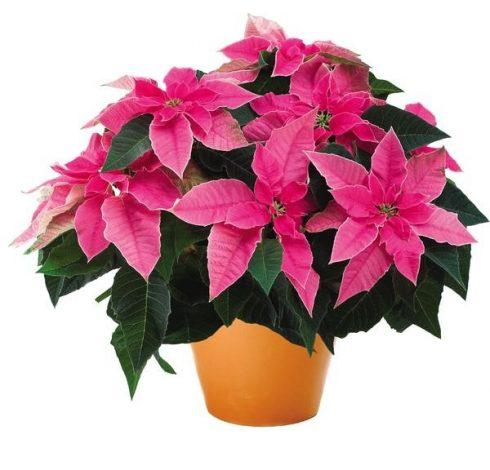 Poinsettia, Princettia Hot Pink, Brookside Gardens Plant Sale