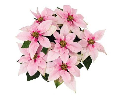 Poinsettia, Princettia Pink, Brookside Gardens Plant Sale