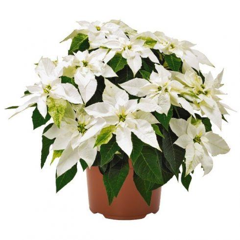 Poinsettia, Princettia Pure White, Brookside Gardens Plant Sale