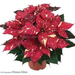 Poinsettia, Red Glitter, Brookside Gardens Plant Sale