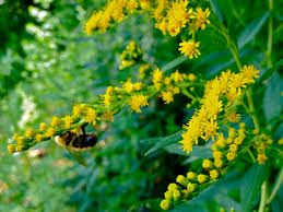 Solidago juncea flower