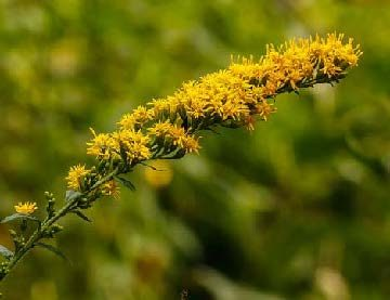Solidago rugosa flower