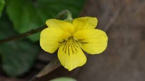 Viola pubescens flower
