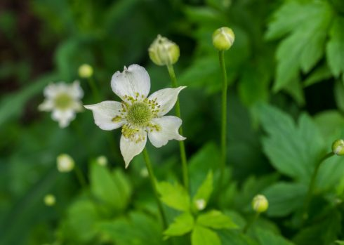 anemone virginiana flower