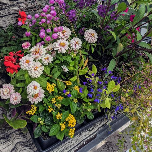 Assorted Annuals for Sun