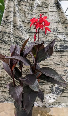 Canna lily with red flowers and burgundy leaves