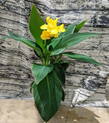 Canna lily with yellow flowers