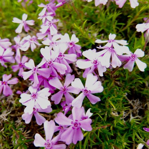 phlox subulata flower