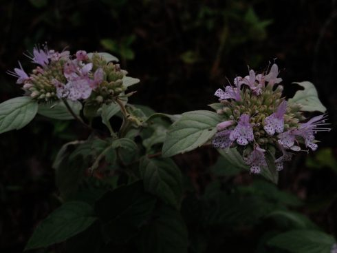 pycnanthemum incanum flower